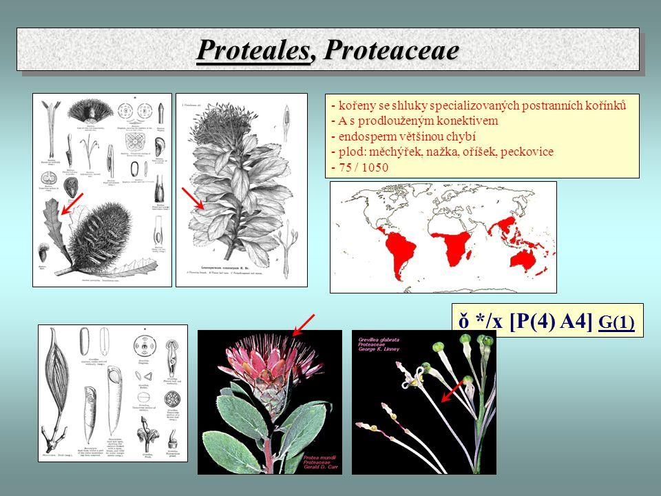 Proteales, Proteaceae ǒ */x [P(4) A4] G(1)
